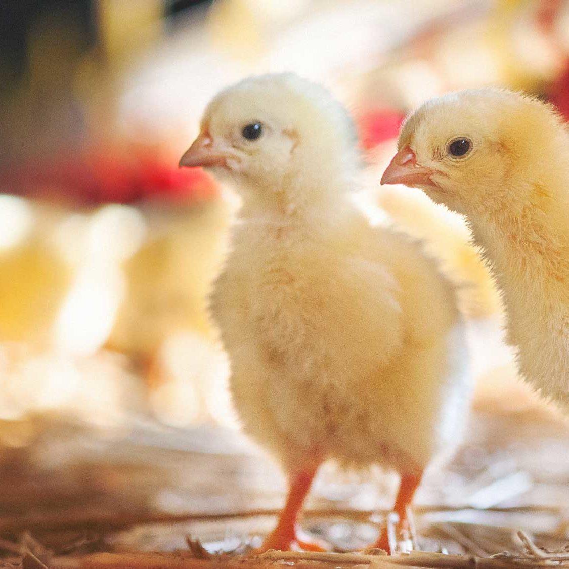 lpp-chicks-2